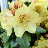 Rhododendron yak. Miyama 'Gold Prinz' (Rhododendron) Evergreen, antique mango flowers, #2 - Size Container