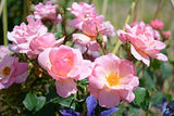 Knock Out Roses - Rosa Peachy Knock Out (Rose) Rose, peach flowers, #3 - Size Container