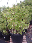 Lonicera caerulea 'Blue Belle' (Honeyberry) Edible-Shrub, #2 - Size Container