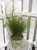 American Beauties Native Plants - Carex appalachica (Appalachian Sedge) Grass, green foliage, #1 - Size Container