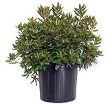 Rhododendron X 'Midnight Ruby' (Rhododendron) Evergreen, dark foliage with pink flowers, #3 - Size Container