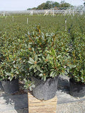 Green Promise Farms Rhododendron X `PJM Elite` Evergreen, 3 Size Container, Lavender Pink Flowers