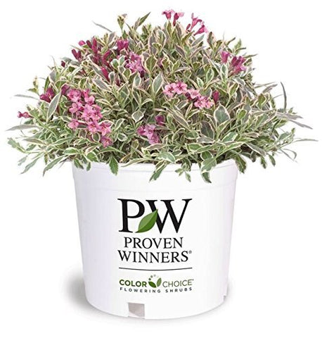 Proven Winners - Weigela florida My Monet (Weigela) Shrub, pink flowers, #2 - Size Container