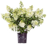First Editions - Hydrangea pan. Strawberry Sundae (Panicle Hydrangea) Shrub, white/pink/red flowers, #2 - Size Container