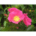 American Beauties Native Plants Rosa virginiana ((Rose), 2 - Size Container, Bright Pink Flowers