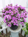 Rhododendron X 'Purple Gem' (Rhododendron) Evergreen, bluish purple flowers, #2 - Size Container