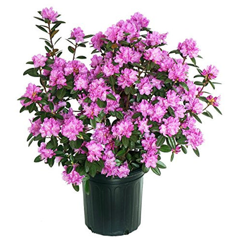 Rhododendron X 'PJM Elite' (Rhododendron) Evergreen, lavender pink flowers, #2 - Size Container