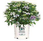 Proven Winners - Hydrangea serrata Tuff Stuff Red (Mountain Hydrangea) Shrub, deep pink/blue, #3 - Size Container