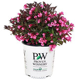 Proven Winners - Weigela florida Wine & Roses (Weigela) Shrub, pink flowers, #2 - Size Container