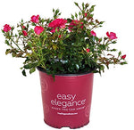 Easy Elegance Roses - Rosa Paint The Town (Rose) Rose, red flowers, #2 - Size Container