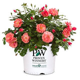 Proven Winners - Rosa OSO EASY Pink Cupcake (Rose) Rose, pink flowers, #2 - Size Container