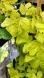 Proven Winners - Humulus Summer Shandy (Hops) Edible-Vine, ornamental, #2 - Size Container