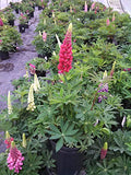 Lupinus 'Russell Hybrids' Mix (Lupine) Perennial, mulit color, 1 - Size Container