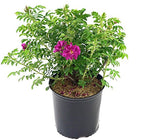 Rosa X Purple Pavement (Rose) Rose, purple flowers, #3 - Size Container