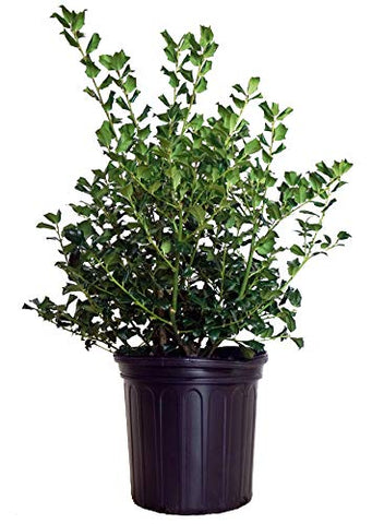 Ilex X meserveae 'China Girl' (Holly) Evergreen, 2 - Size Container