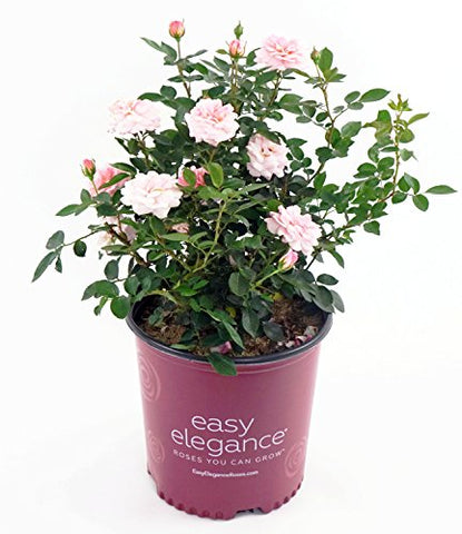 Easy Elegance Roses - Rosa Calypso   (Shrub Rose) Rose, apricot to pink flowers, #2 - Size Container