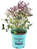 Bushel and Berry - Vaccinium Pink Icing (Blueberry) Edible-Shrub, , #2 - Size Container