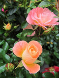 Drift Roses - Rosa Peach Drift (Rose) Rose, double peach flowers, #2 - Size Container