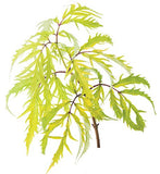 Proven Winners - Sambucus racemosa Lemony Lace (Elderberry) Shrub, , #3 - Size Container