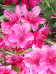 Rhododendron cat. 'Nova Zembla' (Rhododendron) Evergreen, red flowers, #2 - Size Container