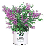 Proven Winners - Syringa x Bloomerang Dark Purple (Reblooming Lilac) Shrub, dark purple flowers, #3 - Size Container