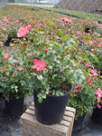 Flower Carpet Roses - Rosa Coral (Rose) Rose, coral flowers, #2 - Size Container