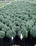 Chamaecyparis obt. 'Blue Feathers' (Hinoki Cypress) Evergreen, blue foliage, #2 - Size Container