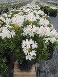 Rhododendron cat. 'Cunningham's White' (Rhododendron) Evergreen, white flowers, #3 - Size Container