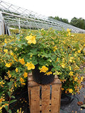 Hypericum patulum 'Hidcote' (St. Johns Wort) Shrub, yellow flowers, #3 - Size Container