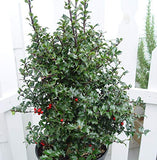 Ilex X rutzan 'Red Beauty' (Holly) Evergreen, 2 - Size Container