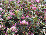 Rhododendron 'Olga Mezitt' (Rhododendron) Evergreen, deep pink flowers, #2 - Size Container