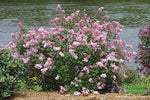 Proven Winners - Syringa x Bloomerang 'Pink Perfume' (Reblooming Lilac) Shrub, pink flowers, #3 - Size Container