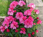 Rhododendron 'Hachmann's Polaris'   (Rhododendron) Evergreen, soft pink w/ dark pink edge, #2 - Size Container