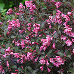 Proven Winners - Weigela florida Fine Wine (Weigela) Shrub, pink flowers, #3 - Size Container