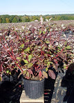 Cornus ser. 'Baileyi' (Red Twig Dogwood) Shrub, white flowers, #3 - Size Container