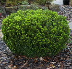 Buxus macro. asiat. 'Baby Gem' (Boxwood) Evergreen, #3 - Size Container