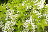 Proven Winners - Deutzia gracilis Chardonnay Pearls (Chardonnay Pearls Deutzia) Shrub, white flowers, #2 - Size Container