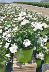 Knock Out Roses - Rosa White Knock Out (Rose) Rose, white flowers, #3 - Size Container