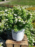 Proven Winners - Spiraea betulifolia Glow Girl (Birchleaf Spirea) Shrub, gold foliage with pink flowers, #2 - Size Container