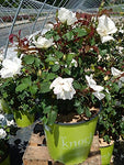 Knock Out Roses - Rosa White Knock Out (Rose) Rose, white flowers, #2 - Size Container