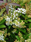 Pieris jap. 'Cavatine' (Cavatine Dwarf Andromeda) Evergreen, #2 - Size Container