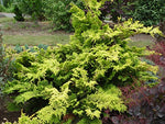 Chamaecyparis obt. 'Crippsii' (Hinoki Cypress) Evergreen, golden foliage, #2 - Size Container