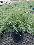 Juniperus virginiana 'Grey Owl' (Eastern Red Cedar) Evergreen, #3 - Size Container