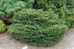 Picea abies 'Nidiformis' (Birds Nest Spruce) Evergreen, #3 - Size Container