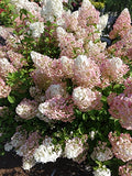 First Editions - Hydrangea pan. Strawberry Sundae (Panicle Hydrangea) Shrub, white/pink/red flowers, #3 - Size Container
