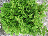 Chamaecyparis obt. 'Templehof' (Hinoki Cypress) Evergreen, green foliage, #3 - Size Container