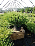 Juniperus hor. 'P.C. Youngstown' (Creeping Juniper) Evergreen, #3 - Size Container