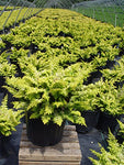 Chamaecyparis obt. 'Fernspray Gold' (False Cypress) Evergreen, gold &  green foliage, #2 - Size Container
