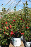 Proven Winners - Chaenomeles Double Take Pink (Quince) Shrub, thornless pink flowers, #2 - Size Container