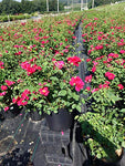 Rosa 'Blaze' (Climbing Rose) Rose, red flowers, #3 - Size Container
